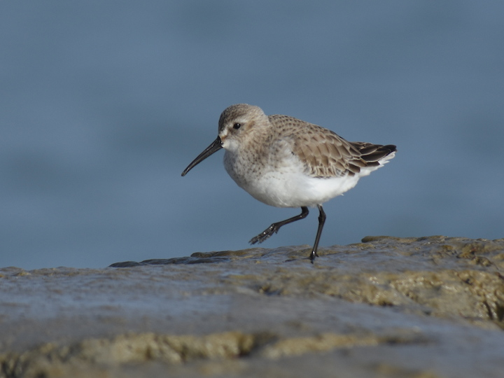 Bécasseau variable (Calidris alpina alpina / schinzii)