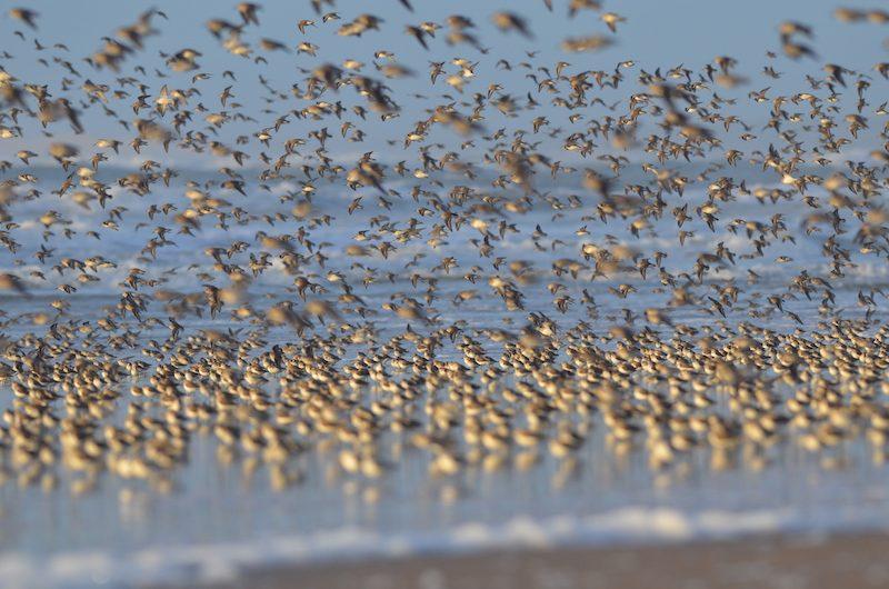 Bécasseaux à la côte sauvage