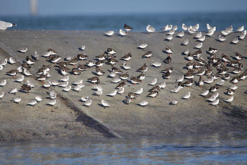 Tournepierre à collier & Bécasseaux sanderling